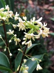 Fragrant lea olives